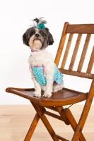 Picture of Mal-Shi (aka Shih-tese, Shihtese, Malti Tzu, Shima). Maltese / Shih-Tzu Hybrid Dog