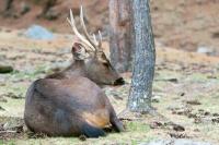 Picture of male Sambar deer in Bhutan