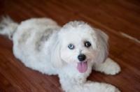 Picture of maltese-poodle (malti-poo) lying on hardwood floor