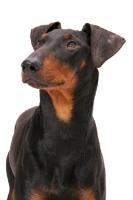 Picture of Manchester terrier in studio, portrait