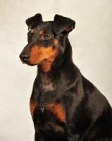 Picture of Manchester Terrier portrait in studio