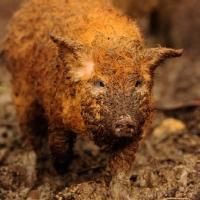 Picture of mangalista pig foraging in mud