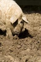 Picture of Mangalitza (aka curly-hair hog) in mud