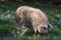 Picture of Mangalitza (aka curly-hair hog) in field