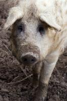 Picture of Mangalitza (aka curly-hair hog)