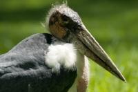Picture of marabou stork portrait
