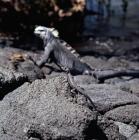 Picture of marine iguana and lava lizard on fernandina island, galapagos islands