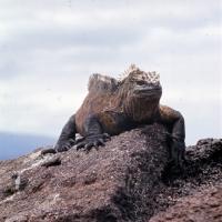 Picture of marine iguana on lava rock on isabela island, galapagos islands