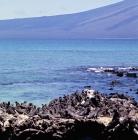 Picture of marine iguanas sunbathing on fernandina island, galapagos islands