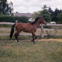 Picture of maroun, caspian pony stallion trottingat hopstone stud full body