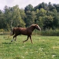 Picture of Martini, Frederiksborg stallion cantering