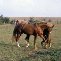 Picture of Martini, Tito Bregneb two Frederiksborg stallions competing for supremecy