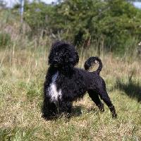 Picture of marujo d'albergaria, portuguese water dog in show trim