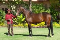 Picture of marwari mare in India