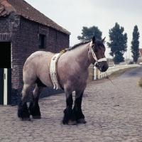 Picture of Matador van Thof van Nieuwen, Belgian heavy horse stallion in yard in belgium