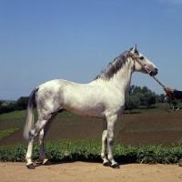 Picture of Meftah, Barb stallion at Tiflet