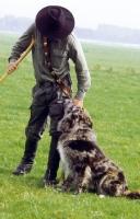 Picture of merle Altdeutsche Hutehund (aka Old German Sheepdog, Westerwalder) with shepherd