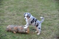 Picture of merle Mini Aussie puppy posing