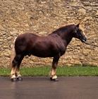 Picture of milliardar, schwarzwald stallion at marbach