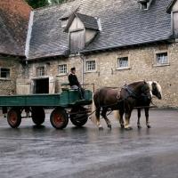 Picture of milliardär and merkur, schwarzwald stallions with farm cart at offenhausen