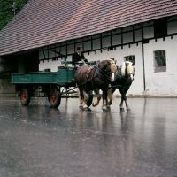 Picture of milliardär and merkur, schwarzwald stallions pulling farm cart at offenhausen