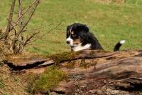 Picture of Mini Aussie puppy exploring garden