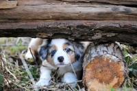 Picture of Mini Aussie puppy hiding under wood