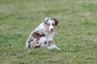 Picture of Mini Aussie puppy