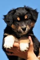 Picture of Miniature Australian Shepherd puppy