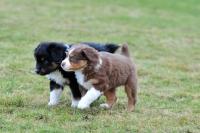 Picture of miniature Australian Shepherd Puppies