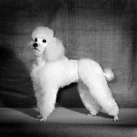 Picture of miniature poodle in dutch clip