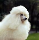 Picture of miniature poodle portrait