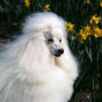 Picture of miniature poodle, portrait