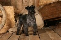 Picture of Miniature Schnauzer in barn