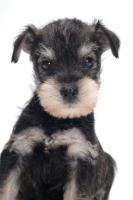 Picture of Miniature Schnauzer puppy portrait