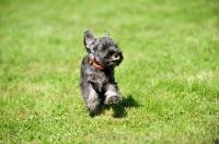 Picture of miniature Schnauzer puppy