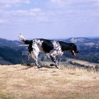 Picture of mitze of houndbrae,  large munsterlander walking on dry landscape grass