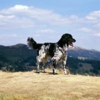Picture of mitze of houndbrae, large munsterlander standing on dry landscape grass