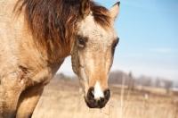 Picture of Morgan Horse portrait, snip marking. Rescue Horse. Iowa.