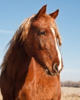Picture of Morgan Horse portrait