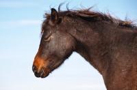 Picture of Morgan Horse profile