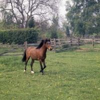 Picture of Moroun,  Caspian Pony stallion