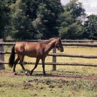 Picture of Moroun Caspian Pony stallion ull body