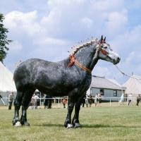 Picture of mr sneath's percheron mare at a show