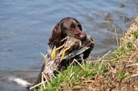 Picture of Munsterlander dog retrieving