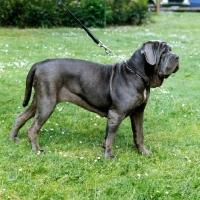 Neapolitan Mastiff pictures | Animal Photography Stock ...