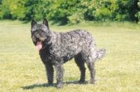 Picture of Nederlandse Herder - dutch sheepdog - wire coat