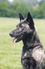 Picture of Nederlandse Herder - dutch sheepdog - smooth variety