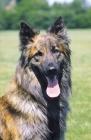 Picture of Nederlandse Herder - dutch sheepdog - long coat