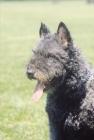 Picture of Nederlandse Herder - dutch sheepdog wirehaired, portrait
